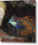 Mandarinfish Sheltering Amongst Rocks Metal Print