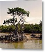 Mangroves In The Everglades Metal Print