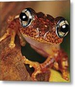 Mantellid Frog Boophis Tephraeomystax Metal Print