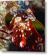Mantis Shrimp, Australia Metal Print