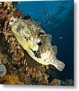 Map Pufferfish, Indonesia Metal Print