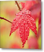 Maple 1 Metal Print