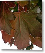 Maple 2 Metal Print