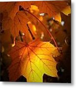 Maple At First Light Metal Print
