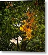 Maple In Oak Grove Metal Print