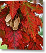 Maple Leaves And Seeds Metal Print