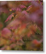 Maple Leaves Are Bright Red On A Rainy Metal Print
