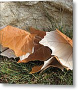 Maple Leaves Contrasted Metal Print