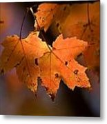 Maple Leaves In The Fall In Middlebury Metal Print