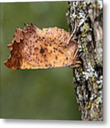 Maple Spanworm Moth Metal Print