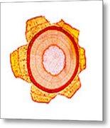 Maple Stem, Light Micrograph Metal Print