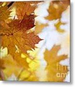 Maple Tree In Autumn Metal Print