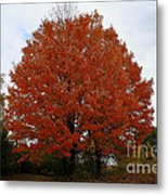 Maples In The Meadow Metal Print