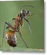 Marauder Ant Polyrhachis Sp Cleaning Metal Print