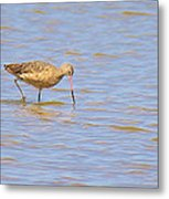 Marbled Godwit Searching For Food Metal Print