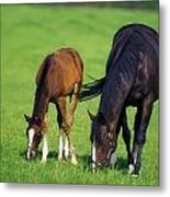 Mare And Foal Thoroughbred Horses Metal Print