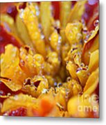 Marigold With Water Drops Metal Print