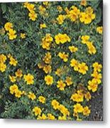 Marigolds (tagetes 'tangerine Gem') Metal Print by Adrian Thomas
