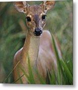 Marsh Deer Blastocerus Dichotomus Metal Print