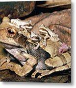 Marsupial Frog Gastrotheca Ovifera Metal Print