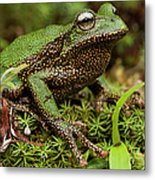 Marsupial Frog Gastrotheca Sp, A Newly Metal Print