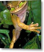 Masked Treefrog Metal Print