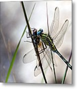 Mating Dragonflies  Metal Print