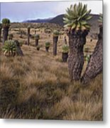 Meadows And Groundsel Trees, Mt Metal Print