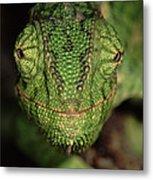 Mediterranean Chameleon Chamaeleo Metal Print