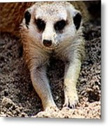 Meerkat Chilling Out Metal Print by Tam Graff