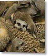 Meerkat Family Metal Print