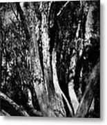Melaleuca Tree Metal Print
