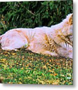 Menominie Park Grey Wolf Metal Print