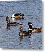 Mergansers After The Rain Metal Print