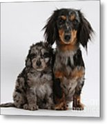 Merle Dachshund And Doxie Doddle Pup Metal Print