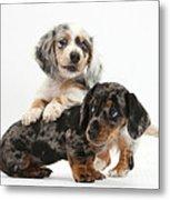 Merle Dachshund Pups Metal Print