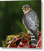 Merlin In The Rain Metal Print