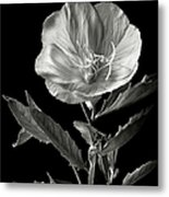 Mexican Evening Primrose In Black And White Metal Print