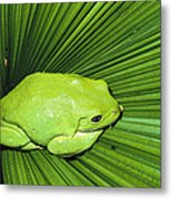 Mexican Giant Tree Frog Pachymedusa Metal Print