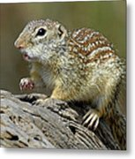 Mexican Ground Squirrel Metal Print