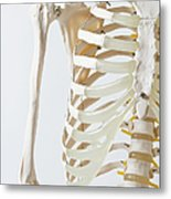 Midsection Of An Anatomical Skeleton Model Metal Print