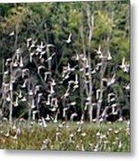 Migratory Birds - Sandpipers Metal Print