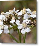 Milkweed Bug Macro Metal Print