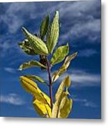 Milkweed Pods Against A Blue Sky Background Metal Print