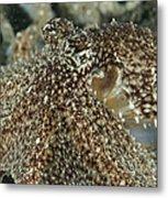 Mimic Octopus Head, North Sulawesi Metal Print