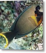 Mimic Surgeonfish Metal Print by Matthew Oldfield