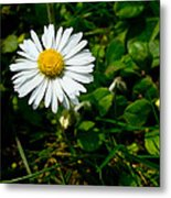 Miniature Daisy In The Grass Metal Print