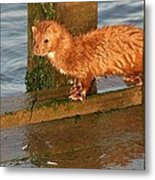 Mink Catching Fish Metal Print