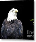 Minocqua Bald Eagle Metal Print