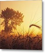 Mist In A Barley Field At Sunset Metal Print